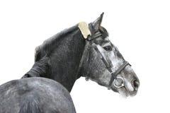 Horse isolated. Grey horse isolated on white Royalty Free Stock Images