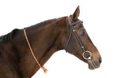 Horse isolated. Purebred achal-teke stallion isolated on white Stock Images