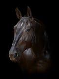 Horse isolated on black. Dark bay horse isolated on black Stock Photography