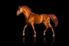 Horse isolated on black Royalty Free Stock Photos