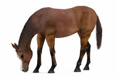 Horse isolated Royalty Free Stock Photography