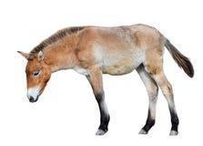 Horse isolated on white. Young Przewalski horse or Dzungarian horse full length. Zoo animals. Wild horse.  stock image