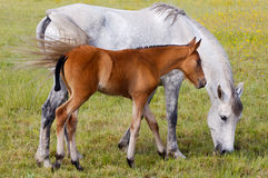 Horse with its son eating grass Royalty Free Stock Photography