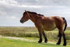 Horse on Juist Stock Photo