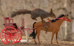 Horse jump. Close up of red squirrel driving a horse  carriage Stock Photo