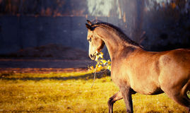 Horse keeps in mouth a branch with leaves and plays with her on autumn nature background Stock Photography