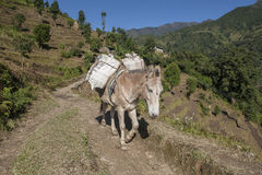 Horse. KHARIKHOLA, NEPAL - CIRCA OCTOBER 2013: in the mountains of transport is mainly on the backs of pack animals circa October 2013 in Kharikhola Stock Photo