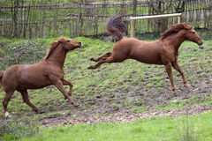 Horse kick out Stock Image