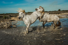 Horse kick. Two white stallions reaing up and fighting each other in water Stock Image