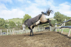 Horse Kicking. A horse kicking inside the paddock Stock Image
