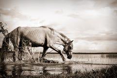 Horse kicking. Lone horse in water kicking Royalty Free Stock Image