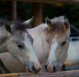 Horse kids. Two foals gnaw at a beam Stock Images