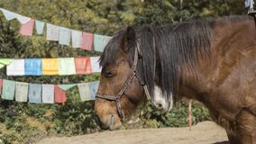 Horse. Kingdom of Bhutan. Horse waiting tourists to get them to Tiger`s Nest monastery. Kingdom of Bhutan. Asia Royalty Free Stock Images