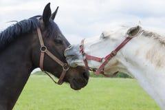 Horse kiss stock photo