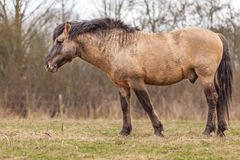 Horse. Konik horse staying on the graas Royalty Free Stock Photography
