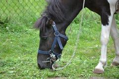 Horse/konika łasowania trawa obrazy royalty free