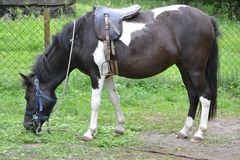 Horse/konika łasowania trawa obrazy stock