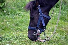 Horse/konika łasowania trawa obraz stock