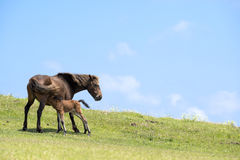Horse lactating Royalty Free Stock Images