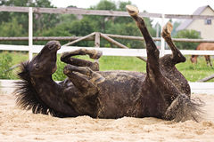 Horse laiyng in sand Royalty Free Stock Images