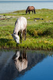 Horse, lake. Trekking in the Altai Mountains Royalty Free Stock Images