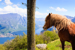 Horse and lake. Horse watching over Lake Como Stock Image