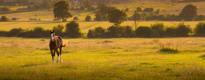 Horse landscape at sunset. Horse in a field landscape at sunset Royalty Free Stock Photography