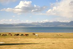 The horse  in a large meadow at Song kul lake ,  Naryn of Kyrgyzstan Stock Image