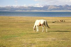 The horse  in a large meadow at Song kul lake ,  Naryn of Kyrgyzstan Stock Images