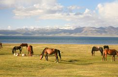 The horse  in a large meadow at Song kul lake ,  Naryn of Kyrgyzstan Royalty Free Stock Images