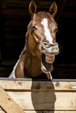 Horse laugh Royalty Free Stock Images