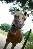 Horse laughing Stock Photography
