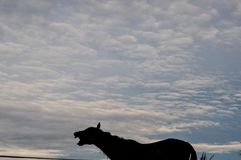 Horse laughing or neighing in the sunset in front of an overcast royalty free stock images