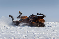 Horse lay. Bay mare rolling in snow field Royalty Free Stock Photos
