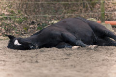 Horse lay on ground to sleep outside. Lazy black horse don´t want to go for a ride and dreaming
