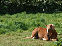 Horse Laying Down Stock Images