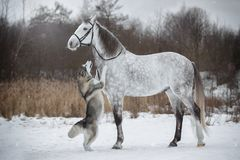 Horse leads the dog by the bridle. Orlovskiy Trotter and Alaskan