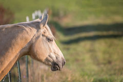 Horse leaning over fence Stock Photography