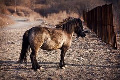 Horse on a leash. But it remains a wild and unruly. The horse is looking over the fence, as if ready simmered run, off the leash and freedom. Wild, even Royalty Free Stock Photos