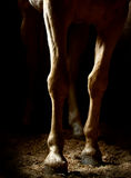 Horse Legs at dusk royalty free stock photography