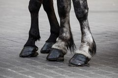 Horse legs with horseshoes Stock Image
