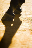 Horse legs and shadow. Front horse legs with shadow in sunrise Royalty Free Stock Photo