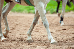 Horse legs on a track detail Stock Image