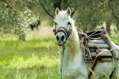 Horse on Lesvos Royalty Free Stock Photos