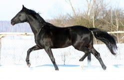 A horse at liberty Stock Photography