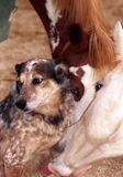 Horse Licking Dog. Palomino filly licking australian shepherd ranch dog on chest, and paint filly with blue eye wearing green blanket in background Royalty Free Stock Photography