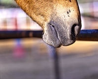 Horse licking the rusty fence in the stable Royalty Free Stock Photography