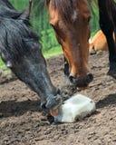 Horse licking salt Stock Photos