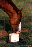 Horse Licking Salt. Sorrel horse licking salt on a summer day Stock Photos