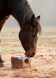 Horse licking on a salt block Royalty Free Stock Images